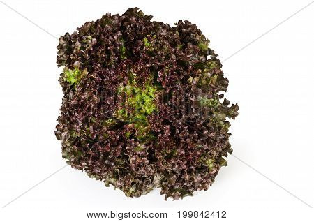 Lollo Rosso lettuce front view on white background. A summer crisp variety of Lactuca sativa. Red loose leaf type salad head with frilly leafs and wavy leaf margin. Macro closeup photo.