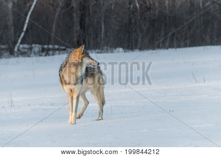 Grey Wolf (Canis lupus) Turned Right - captive animal