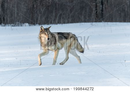 Grey Wolf (Canis lupus) Turns to Right in Snow - captive animal
