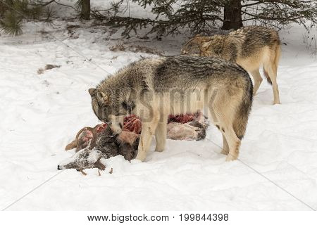 Grey Wolf (Canis lupus) Pulls at Deer Hide - captive animal