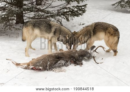 Grey Wolves (Canis lupus) Head to Head Over Deer Carcass - captive animals