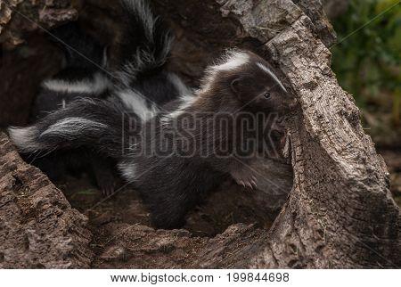 Striped Skunk Kit (Mephitis mephitis) Peeks Out of Log - captive animal