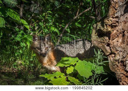 Grey Fox Vixen (Urocyon cinereoargenteus) Behind Log - captive animal