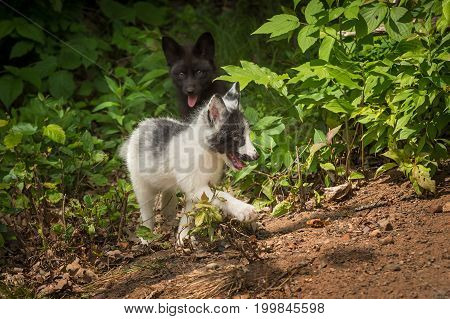 Silver Fox and Marble Fox (Vulpes vulpes) Prance By - captive animals