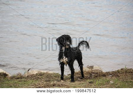 Portuguese Water Dog standing by the shore