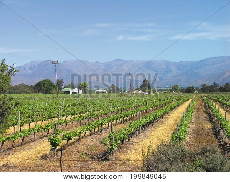 GRAPE FARM, ROWS OF GRAPE VINES IN THE FORE GROUND, WITH MOUNTAINS IN THE BACK GROUND