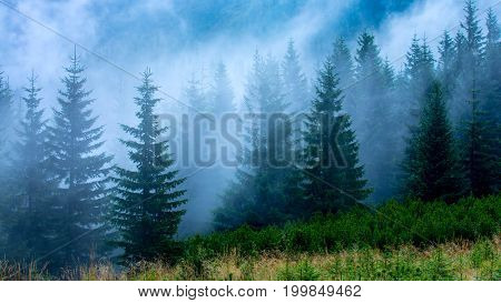 landscape with pine forest in morning fog