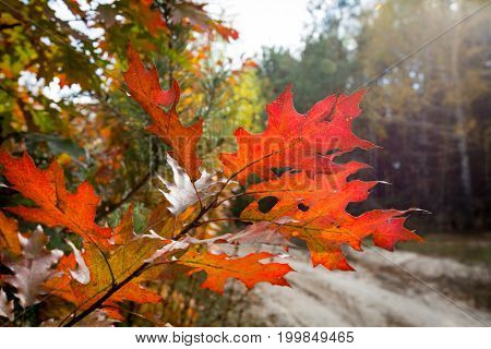 Autumn oak brunch with red leafs