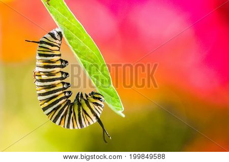 Monarch caterpillar readying for chrysalis macro shot