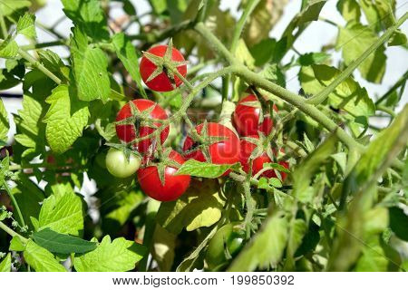 Small ripe red cherry tomatoes grows on branch deep in the garden in sunny summer day horizontal view closeup