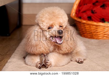 Miniature Apricot Poodle eat a dry bone. Indoor shoot