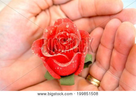 Rose in the hand in a close up photo