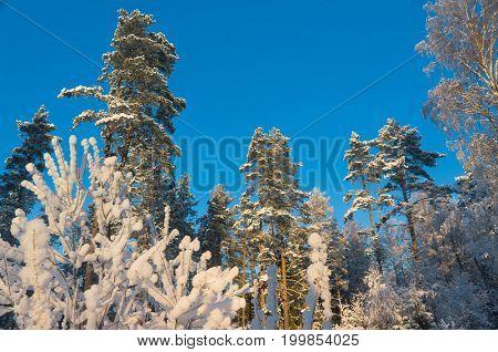 Frozen Woods Frosty Glow
