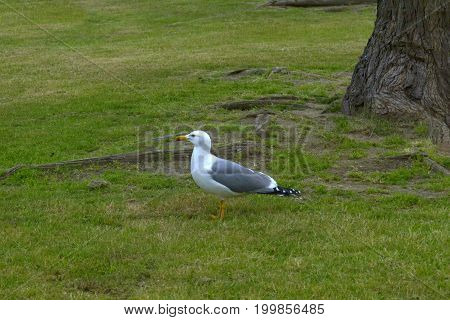Seagull walking on the grass in a park