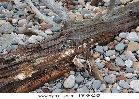 A drift wood with rocks and stone.  Pictured Rocks National Lakeshore, Upper Peninsula of Michigan