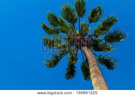 Tropical tree under a blue sky in Brazil