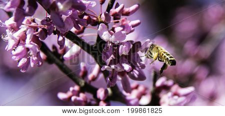 Closeup of an isolated bee flying by pink flowers of a Redbud tree.