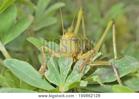 A close up of the grasshopper on grass doe.
