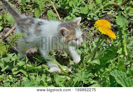 A close up of the small kitten at dandelion.