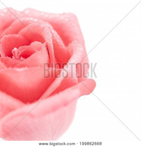 Close-up image of beautiful pink rose flower with droplet isolate on white background. Valentine day love and wedding concept. Copy space. Selective and soft focus