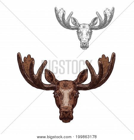 Moose wild animal isolated sketch. Head of brown elk with broad antlers for hunter sport club symbol, zoo mascot or wildlife themes design