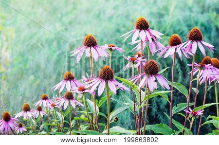 Echinacea. A genus or group of herbaceous flowering plants in the daisy family.