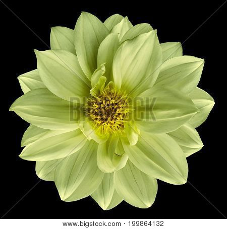 Light green flower on isolated black isolated background with clipping path. Closeup. Beautiful Bright lime flower for design. Dahlia. Nature.