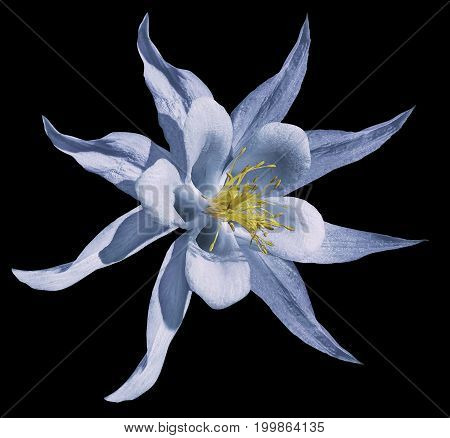 Flower light blue. Isolated on the black background with clipping path. No shadows. Closeup. A beautiful primrose blossoms. Nature.