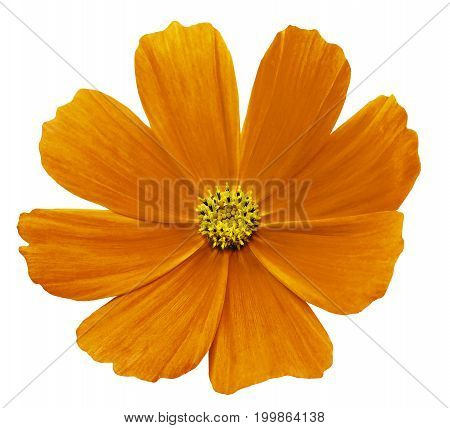 Orange-yellow flower Kosmeja white isolated background with clipping path. No shadows. Closeup. Nature.