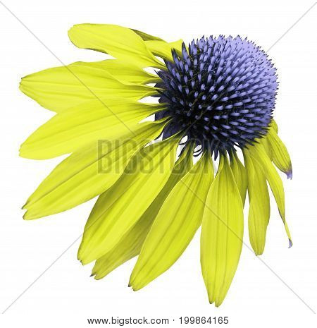Flower yellow-blue Chamomile on white isolated background with clipping path. Daisy blue[yellow for design. Closeup no shadows. Nature.