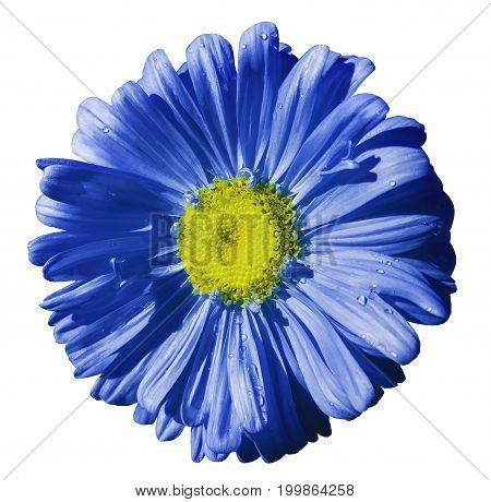 Flower blue Chamomile on white isolated background with clipping path. Daisy blue-yellow with droplets of water for design. Closeup. Nature.