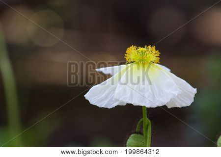 Vibrant white poppy with large yellow center that looks like a fairy or ballerina.