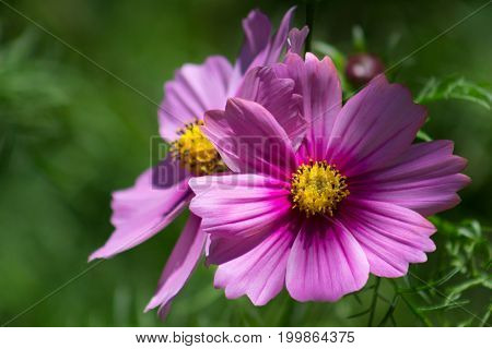 Two vibrant pink flowers in a lush green garden brightened by the sun.