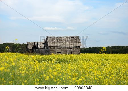 An image of old wooden granaries in a canola field.