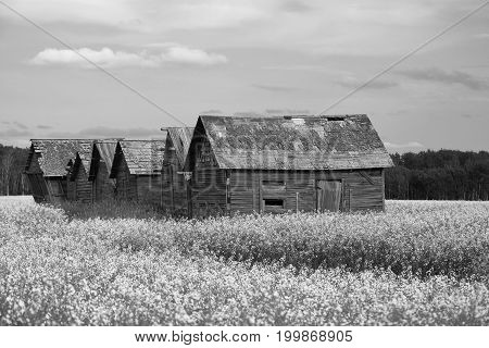 A black and white image of several run down granaries in a canola field.