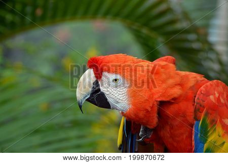 Red macaw stares intently forward while hunched over.