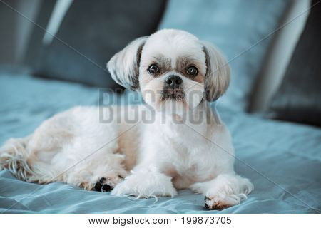 Shih tzu dog lying on bed in modern interior