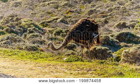 Ostrich searching for food at Cape Point Nature Reserve on the Cape Peninsula in the Western Cape of South Africa