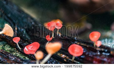 Orange Mushroom champagne in forrest of thailand. select and soft focus