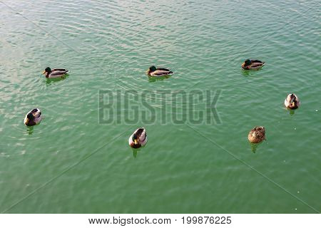 Group Of Seven Ducks Floating On The Water