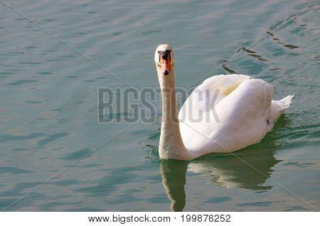 One Swan With Orange Beak