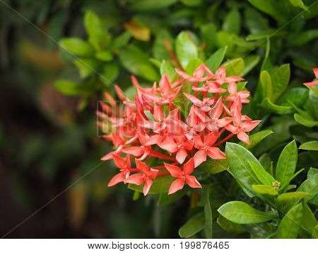 Focus Red Ixora flowers are blooming with green leaf around.