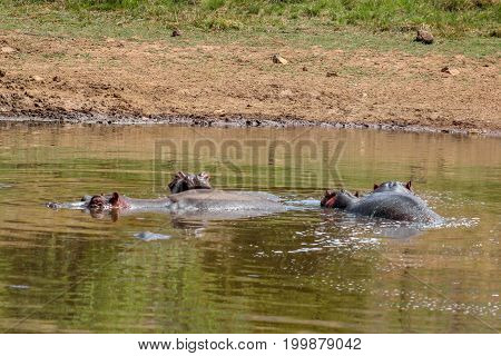 Hippopotamus amphibius cooling off in the cold water