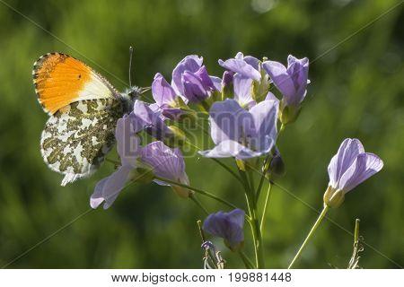 Orange Tip-butterfly(anthocharis Cardamines)