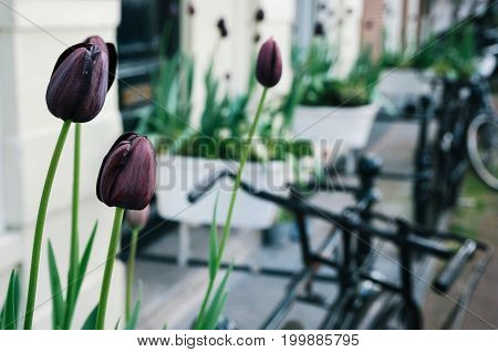 Dark purple tulip or black tulips in the foreground of the bicycles in a street of Amsterdam Netherlands