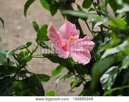 focus pink hibiscus flower and blur background.