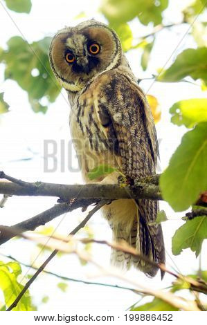 Owl on branch. Asio otus hiding in the branches of a tree.