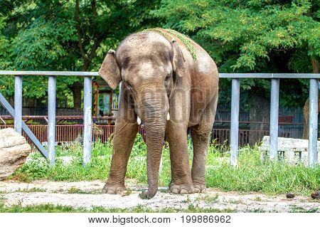 image of a large elephant walks in the enclosure of the zoo