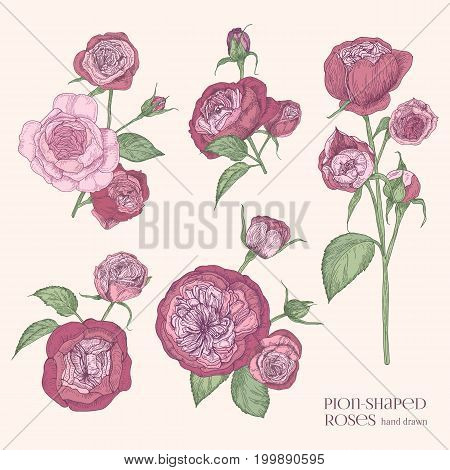 Pion-shaped rose isolated illustration. Plant, flowers, leaves, hand drawn set. Colorful vector illustration collection