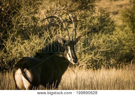 A Lone Trophy Sable Bull Walking In The Grassland In The Kalahari Region In The Northern Cape Provin